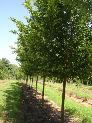 Moving To Mexico >> Tree Photo Gallery - Frontier Elm - Frontier Elm